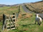 sheep gate