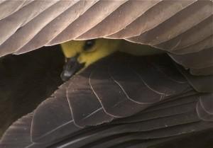 under wings